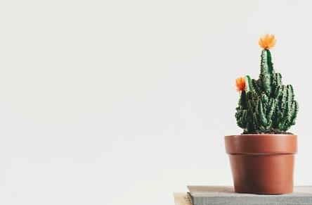 planta para san valentin